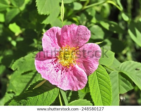Light pink flower rosehip name rose stock photo edit now 248580127 light pink flower of rosehip name rose come from unpreserved adjective lipoviy mightylinksfo