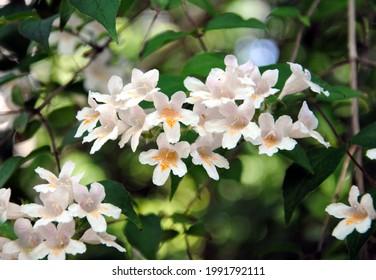 Light pink flowers of beauty bush (Linnaea amabilis or Kolkwitzia amabilis), originally from China (wei shi)