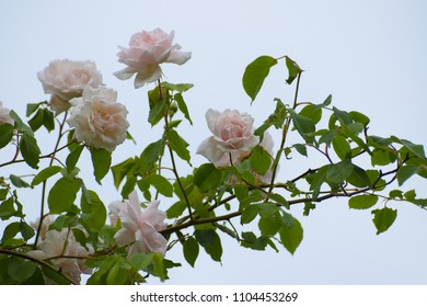 """light pink flowers of the rambling or climbing rose """"Madame Alfred Carriére"""" against the blue sky, old noisette rose bred by schwartz 1875, selected focus"""