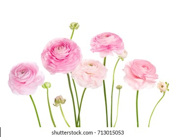 Light pink flowers (Ranunculus) isolated on white background.