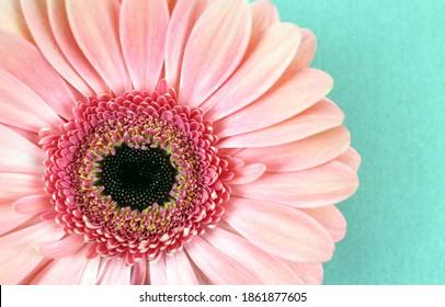 Light pink gerbera flower close up