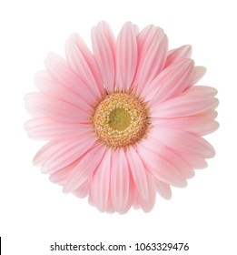 Gerbera images stock photos vectors shutterstock light pink gerbera flower isolated on white background mightylinksfo