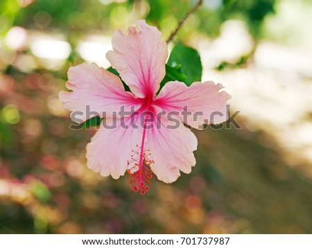 Light Pink Hibiscus Flower On Tree Stock Photo Edit Now 701737987