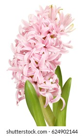 Light pink hyacinth flower isolated on white background