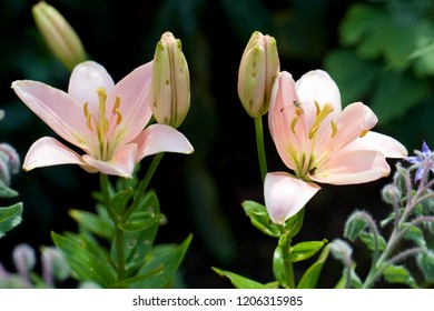 light pink lilies with buds in front of dark green background