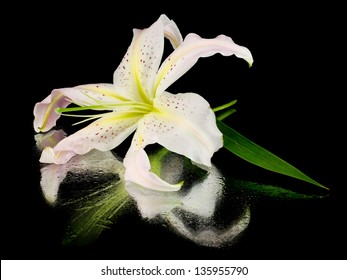 Light pink lilly flower on a black background with water drops