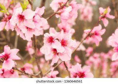 Light pink peach blooms in spring sunshine