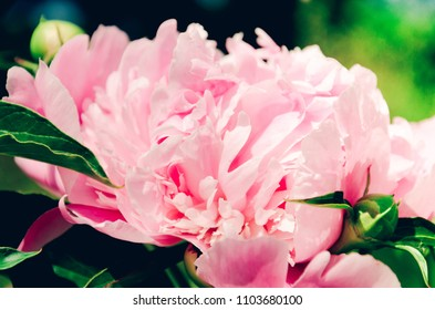 Light pink peony in bloom