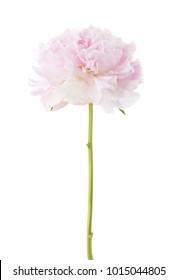Light pink peony isolated on white background.
