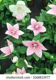 Platycodon grandiflorus images stock photos vectors shutterstock light pink platycodon grandiflorus also known as balloon flower plants mightylinksfo