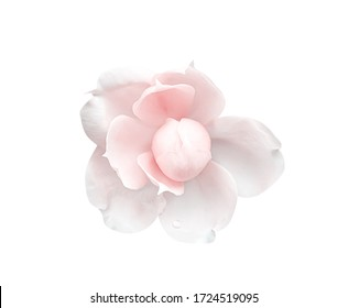 Light pink rose flower with water drops top view isolated on white background , clipping path