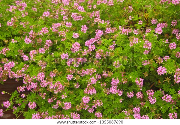 Light Pink Rose Geranium Sweet Scented Stock Photo Edit Now