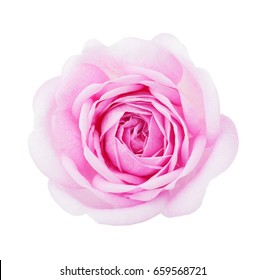 Light pink rose isolated on white background.