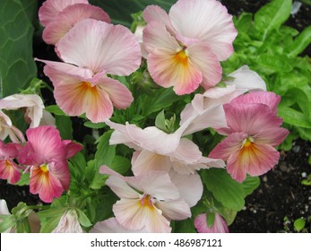 Pink pansy images stock photos vectors shutterstock light pink and white pansy flowers mightylinksfo
