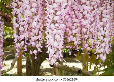 Light pink of wisteria in Ashikaga flower park, Japan. Beautiful flower. So Sweet.