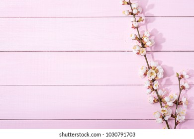 Light pink  wooden background with branches of blossoming apricot and copy space for text.
