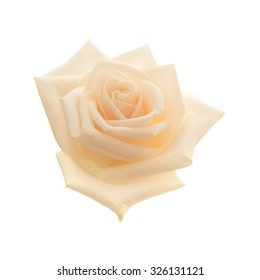 light pink and yellow rose isolated on white background