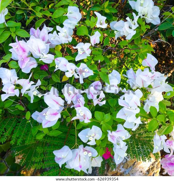 Light purple Bougainvillea flower.