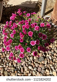 """Light purple Dianthus """"gravel carnation"""" growing strong and beautiful in gravel as detail in garden."""