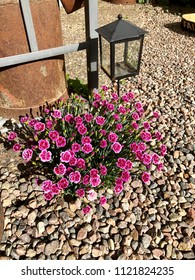 Light purple Dianthus gravel carnation as detail in garden with candle holder behind.