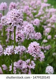 Light purple flowers in a field