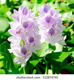 Light Purple Flowers, Hyacinth Flowers