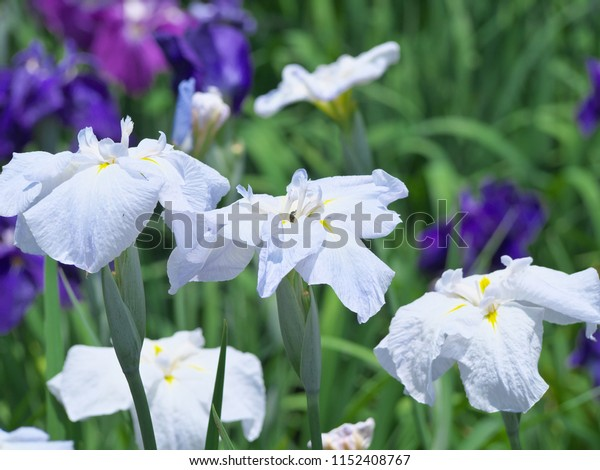 Light purple iris flowers