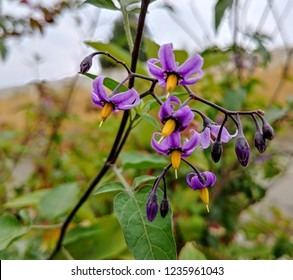 Light purple and yellow Deadly Nightshade flowers hang from the vine