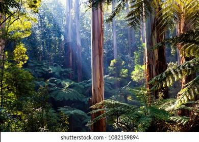 Lichtstrahlen, die durch den einheimischen australischen Regenwald strahlen - Gummibäume und Farne