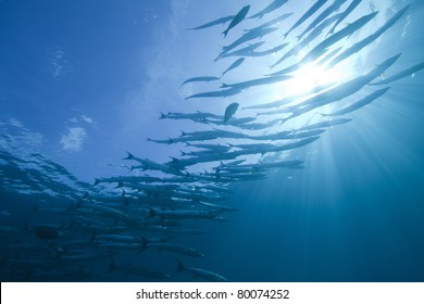 Light rays, Sun burst and schooling Great Barracudas, in the Andaman Sea Thailand. Sphyraena barracuda.