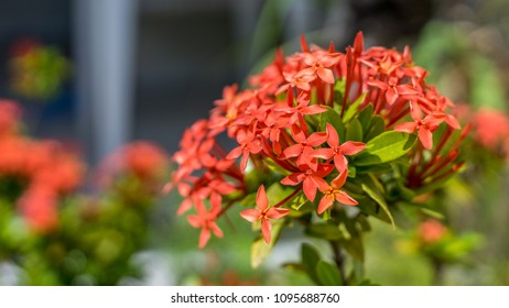 Light red Milkweed