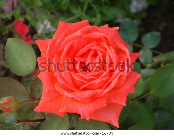 light red rose with pinkish tinge basked in the gentle early morning sun