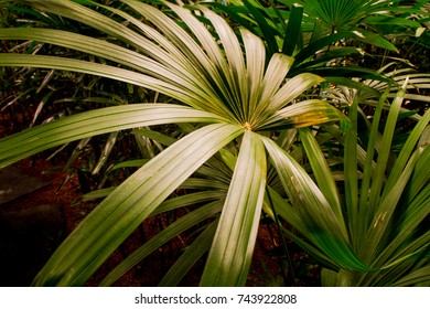 Light reflecting of the huge leaves of a tropical plant