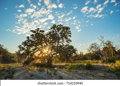 Light refracts as it angles through an oak tree in the San Gabriel Mountains of southern California.