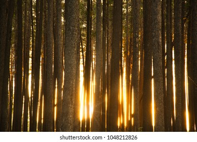 Light from the setting sun breaking through the trunks of lodgepole pine forest in British Columbia, Canada