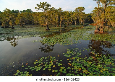 Light of setting sun on An open path of water through lily pads and cypress trees on Caddo Lake on border of  Louisiana and Texas.