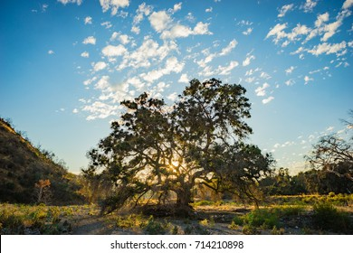 Light from the setting sun streams down a California valley between branches of an oak tree.