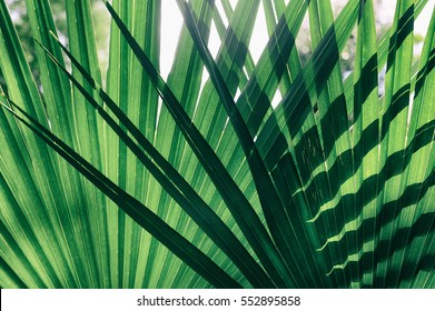 Light and shadow line of palm leaf, Green striped background