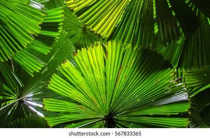 Light shines on Fan palm leaves building a roof, Cape Tribulation National Park, Queensland, Australia
