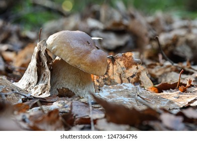 Light, small and thick king boletus mushroom in the forest close up. Surrounded by pine needles and dry leaves. Autumn cepe in the woods.