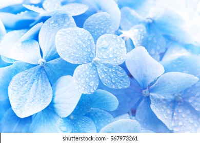 Light soft blue Hydrangea (Hydrangea macrophylla) or Hortensia flower with dew with light coming in.  Shallow depth of field for soft dreamy feel.