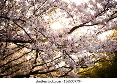 Light through cherry blossoms