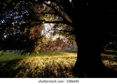 light through copper beech