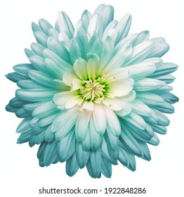 Light turquoise  chrysanthemum.  Flower on a white isolated background with clipping path.  For design.  Closeup.  Nature.