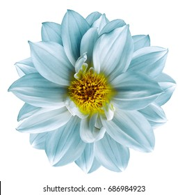 Light turquoise flower on  isolated white isolated background with clipping path.  Closeup. Beautiful  white-turquoise flower for design. Dahlia. Nature.