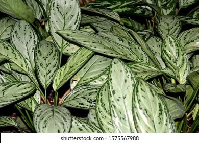 light variegated leaves growing in different directions