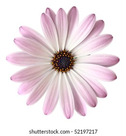 Light violet daisy from above, isolated on white background.