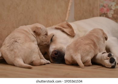 Light white beige fawn labrador retriever dog with its cute puppies