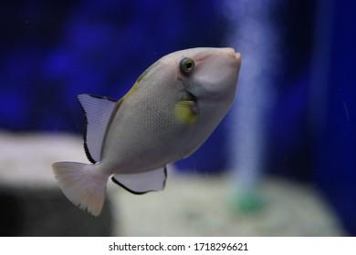 Light white fish. K dash. Beautiful black border. In the aquarium of Bangsaen Subdistrict Chon Buri, Thailand, taken on November 9, 2019