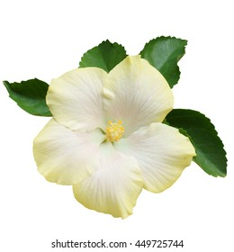 Light Yellow Hibiscus on white background with path